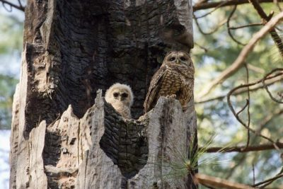 An adult female California spotted owl and owlet on the nest. A UW–Madison research group has documented an exodus of owls following the fierce, 99,000 acre King Fire in California in 2015. Image credit: Sheila Whitmore