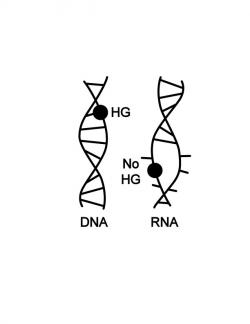 The DNA double helix (shown on the left) can contort itself into different shapes to absorb chemical damage to the basic building blocks (A, G, C and T, depicted by a black dot) of genetic code. In contrast, an RNA double helix (shown on the right) is so rigid and unyielding that rather than accommodating damaged bases, it falls apart completely. Photo by Huiqing Zhou, Duke University