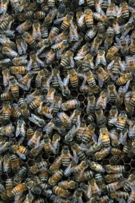 Honey bees live and work in highly collaborative, social colonies with a sole reproducing queen, and they make honey by storing nectar from flowering plants in their hives for use during food scarcities. Sarah Scott, USGS, Public domain