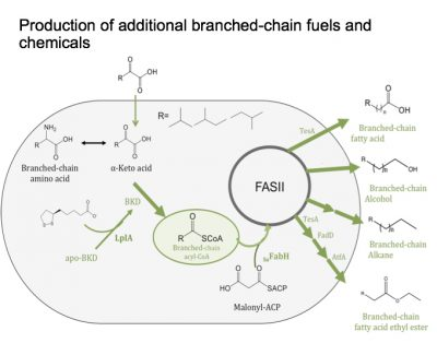 Researchers are engineering a protein fix to better manufacture branch-chain fatty acid (BCFA) in e. coli bacteria. The new method will provide a purer product more efficiently.
