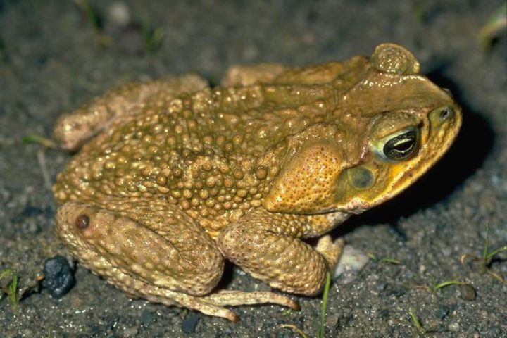 Australia learned its lesson about invasive species, when cane toads, introduced to combat parasites, became one of the biggest wildlife problems in the country. Image credit: Jean-Marc Hero via Wikimedia, CC BY-SA 2.5