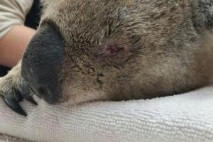 A koala with chlamydial eye disease is examined by vets. Photo credit: Willa Huston