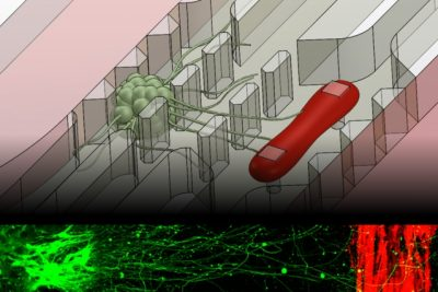 A new microfluidic device that replicates the neuromuscular junction — the vital connection where nerve meets muscle — contains a small cluster of neurons (green) and a single muscle fiber (red). A fluorescence image, bottom, shows the motor neurons sending out axons toward a muscle strip over a distance of about 1 millimeter. Image: Sebastien Uzel