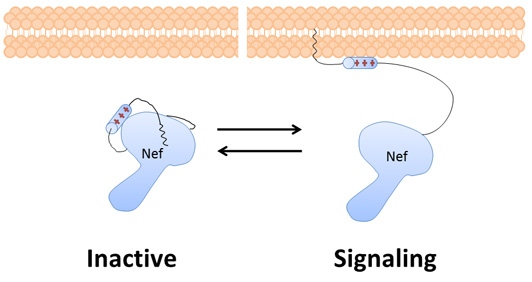 """Nef – a critical HIV protein – changes shape. When it is bound to the lipid membrane, it is """"open"""" and able to trick the cell into destroying its own immune system signaling receptors and enhance the replication of the virus. When it is not bound to the lipid membrane, it is """"closed"""" and not able to interact with host proteins."""