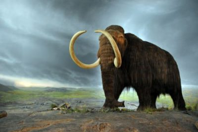 Model of a woolly mammoth on display at the Royal BC Museum in Victoria, British Columbia.