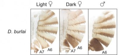 Separated sections from abdomen of Drosophila burlai show (from left) light female, dark female, and male. Notice the resemblance between the dark female and the male? In some conditions, there's an evolutionary advantage to being able to mask your sex. Numbers refer to section of abdomen. Image credit: Emily Delaney, Junhao Chen