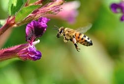 Honey bee flying to cuphea flower