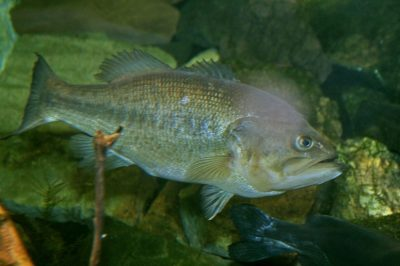 A new virus has been identified in association with a die-off of largemouth bass in Pine Lake in Wisconsin's Forest County. Although the virus was discovered in association with a fish kill, more work is needed to understand if it is the primary culprit. Image credit: Cliff, Creative Commons