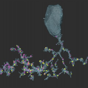 3-D reconstruction of a GluMI retina neuron at the ultrastructural level showing its input (magenta puncta) and output (yellow puncta). The image was obtained with serial block face scanning electron microscopy. Image credit: Takeshi Yoshimatsu