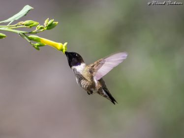 Longer flower tubes are often associated with more specialist pollinators, like the black-chinned hummingbird visiting Nicotiana glauca seen here, whereas a greater variation of different pollinators can access the nectar of shorter and wider flowers. Image credit: Ninad Thakoor