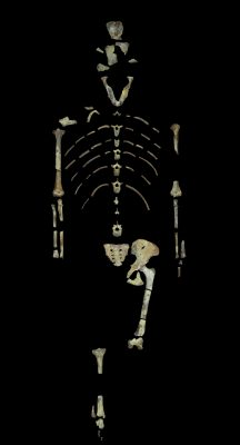 Lucy, a 3.18 million year old fossil specimen of Australopithecus afarensis. Image credit: John Kappelman, UT Austin.