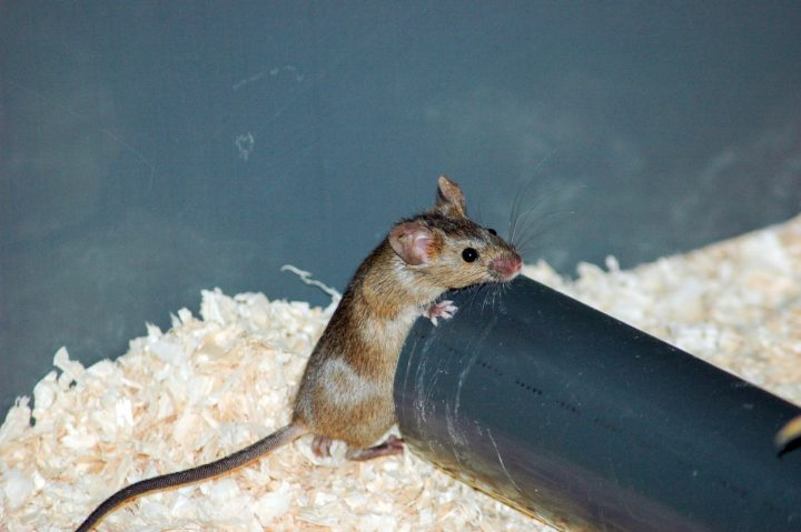 Mice have ability to sense if one of them is sick, but isolation is usually done by the sick individual itself. Image credit: media.uzh.ch.