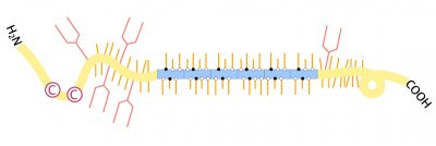 """An illustration shows the MUC7 protein in humans. This bottlebrush-shaped protein, found in saliva, contains repeating units (shown in blue). Repeats of this kind may have conferred an evolutionary advantage to humans and other primates, possibly by enhancing traits of saliva such as its lubricity and its ability to bind to microbes (a capability that may help curb disease). Credit: Duo """"Erica"""" Xu"""