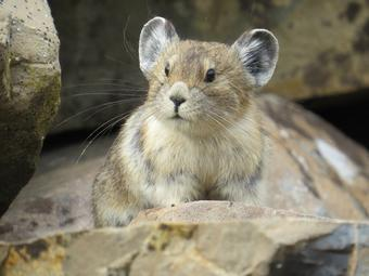 An American pika sits on a talus slope.  Will Thompson, USGSPublic domain