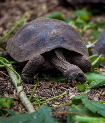 For 150 years, hatchling Pinzón tortoises were not surviving in the wild due to predation by invasive rats. Following the successful removal of rats, young hatchling Pinzon tortoises are now surviving and being observed in the wild again. Photo by Island Conservation