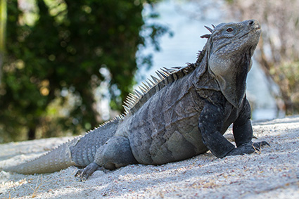 The critically endangered Ricord's iguana, native to Cabritos Island, Dominican Republic, is one of the most threatened lizards in the world. Efforts are under way to remove invasive species from Cabritos Island to prevent the extinction of this rare reptile. Photo by Island Conservation