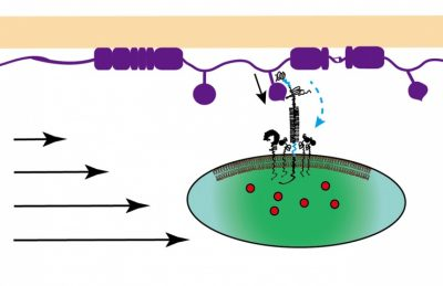 A platelet interacts with the injured vascular surface at the beginning of blood clotting. The platelet uses a glycoprotein molecule to bind von Willebrand factor (VWF) to resist the dislodging force from the bloodstream. The force unfolds the domain of the molecule that binds VWF, which prolongs binding and promotes unfolding of the domain of the molecule that is close to the platelet membrane. These cooperative unfolding events lead to strong calcium signaling inside the platelet. Image credit: Yunfeng Chen, Georgia Tech