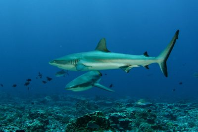 A pair of gray reef sharks patrol the deep outer terrace at Palmyra Atoll in the Line Islands. Photo: Brian Zgliczynski