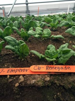 Here are two varieties of spinach with noticeably different growth habits, Emperor being more upright and Renegade more squat, on Dec. 11, 2015. Image credit: Kaitlyn Orde/UNH