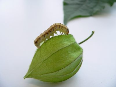 The larva of the specialist moth Heliothis subflexa climbs the calyx of a Physalis, which is also called ground cherry. The fruit, which is inside the calyx, provides the caterpillar with a perfect shelter from enemies, once it has entered the calyx. Moreover, the fruit contains withanolides, which have antibacterial properties and boost the larva's immune system. Credit: MPI f. Chemical Ecology/ A. Barthel