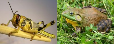 "New research may explain why frogs and grasshoppers have such different ""springs"" for jumping. Credit: AtelierMonpli, Carl D. Howe, Wikimedia Commons"