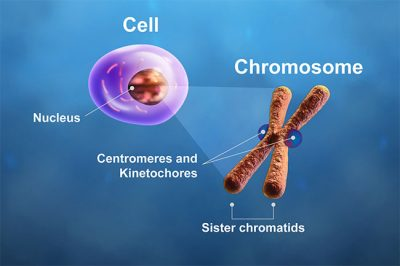 The centromeres and kinetochores of a chromosome play critical roles during cell division. In mitosis, microtubule spindle fibers attach to the kinetochores, pulling the chromatids apart. A breakdown in this process causes chromosome instability. Researchers have linked the overexpression of centromere and kinetochore genes to cancer patient outcome after adjuvant therapies. Image credit: Zosia Rostomian/Berkeley Lab