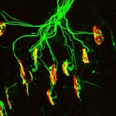 Image of a neuromuscular junction. UB and Johns Hopkins researchers have shown in mice that glutamate plays a key role in the muscle fiber development process that occurs at the neuromuscular junction.