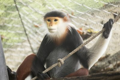 To better understand how changes in diet, lifestyle, and exposure to modern medicine affect primates' guts, a team of researchers used DNA sequencing to study the gut microbes of multiple non-human primates species, including the highly endangered red-shanked douc.