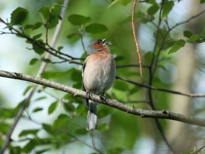 Male chaffinches start singing several minutes earlier in the vicinity of Berlin airport. Credit: S. Greif
