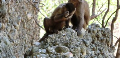 Wild-beard capuchin in Brazil is observed smashing stones and unintentionally creating flakes similar to those once created intentionally by hominins. Credit: Primate Archaeology Group