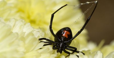 DNA related to black widow spider toxin has been found in a bacterial virus