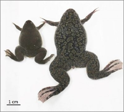 African clawed frog (right) and Western clawed frog. Though similar in ...