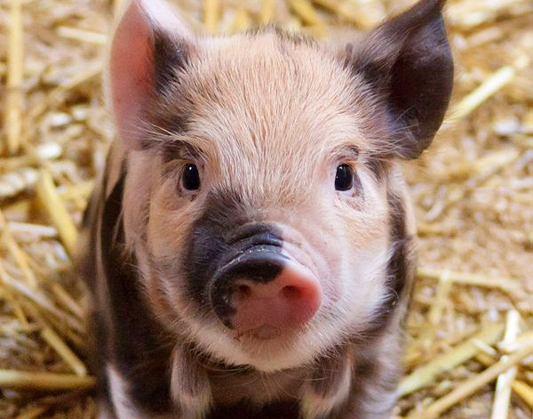 Outlook of a pig depends on its personality type and mood. Image credit: Petr Kratochvil via Wikimedia, Public Domain