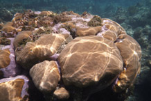 The relationship between coral and symbiotic algae is crucial to the survival of coral. Credit: University of Exeter