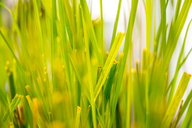 The UW and University of York research team is the first to report genetically modifying grass species – which are hearty and well suited to real-world cleanup projects – to enhance their ability to eradicate pollution. Image credit: Dennis Wise/University of Washington