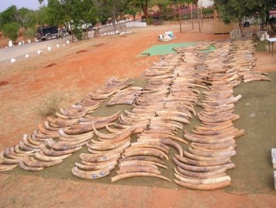 An ivory seizure, 6.5 metric tons, in Singapore in 2002. Image credit: Benezeth Mutayoba/Sokoine University of Agriculture