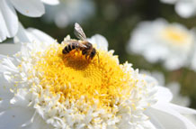 The researchers considered foraging from an individual bee's perspective. Credit: University of Exeter