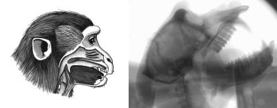 Researchers have found that monkeys known as macaques possess the vocal anatomy (left) but not the brain circuitry to produce human speech. The findings suggest that human speech stems mainly from the unique evolution and construction of our brains, and is not linked to vocalization-related anatomical differences between humans and primates. The researchers used X-ray videos (right) to capture and trace the movements of the different parts of a macaque's vocal anatomy — such as the tongue, lips and larynx — during a number of orofacial behaviors. (Illustration by Tecumseh Fitch, University of Austria, and image courtesy of Asif Ghazanfar, Princeton Neuroscience Institute