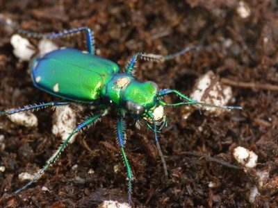 Neonicotinoid coatings on corn and soybean seeds reduce populations of predatory insects, like this tiger beetle (Cicindela sexguttata), as much as broadcast applications of commonly used pyrethroid insecticides. Image: Ian Grettenberger / University of California, Davis