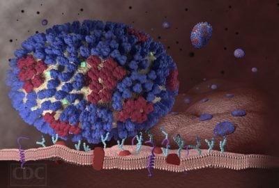 This image illustrates the beginning stages of an influenza infection and shows what happens after the influenza viruses enter the human body. Image credit: Centers for disesase control and prevention