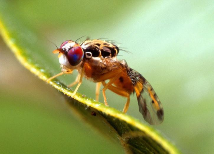 Fruit fly.