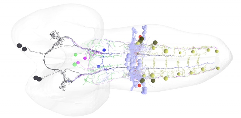 Circuitry between bilateral pairs of neurons in the brain to motor neurons of a suite of muscles in the fruit fly (Courtesy of Chris Doe)