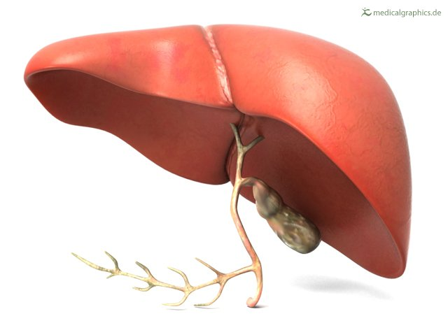 View of a human liver dorsally with gallbladder.