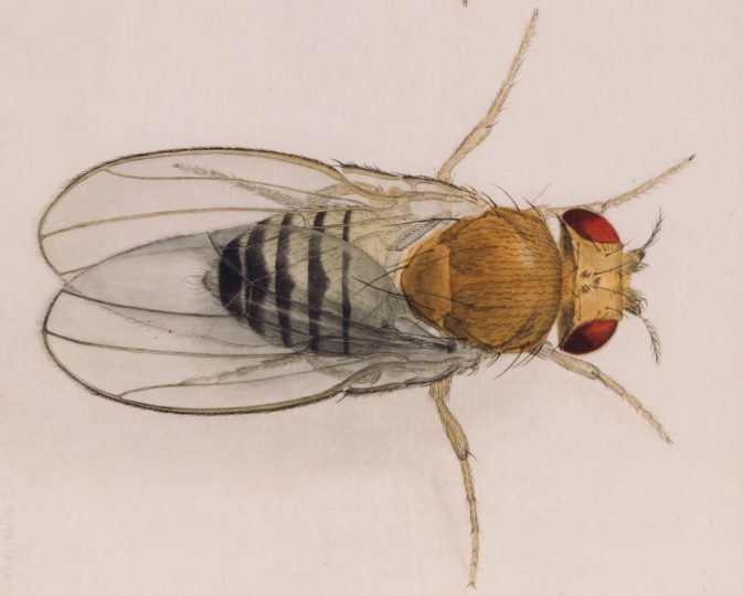 This is a fruit fly. Image credit: Carnegie Institution for Science