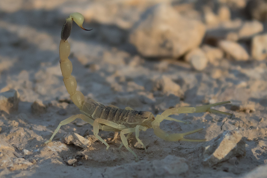 The deathstalker scorpion, pictured here, produces a toxin that has been used to treat and operate on brain tumors. Image credit: מינוזיג via Wikimedia, CC-BY-SA-4.0