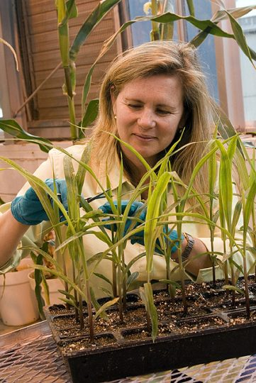 Computational biologist Doreen Ware harvests maize tissue for RNA isolation. Photo by Miriam Chua, USDA/ARS