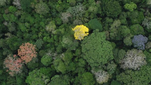 """In this photo of the tropical rain forest canopy in Panama, Handroanthus guayacan, the focus of a new Brown/UCLA study, blooms in yellow while Jacaranda copaia has blue flowers and Cavanillesia plantanifolia has pink fruit. Taking advantage of regular annual changes, like flowering and fruiting, allowed Brown ecologist Jim Kellner to track individual trees through time and map distributions of some species throughout a large area. Credit: <a href=""""https://news.brown.edu/files/styles/horizontal/public/article_images/image2.jpg?itok=HOc0PCgj"""">Jonathan Dandois and Helene Muller-Landau/Smithsonian Tropical Research Institute.</a>"""