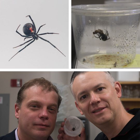 With venom more powerful than a rattle snake's, black widow spiders are the most venomous in North America. Researchers Nathan Gianneschi (left) and Greg Holland (right)  followed strict safety standards while studying the spiders, which produce uniquely strong webs. Photo credit: SDSU
