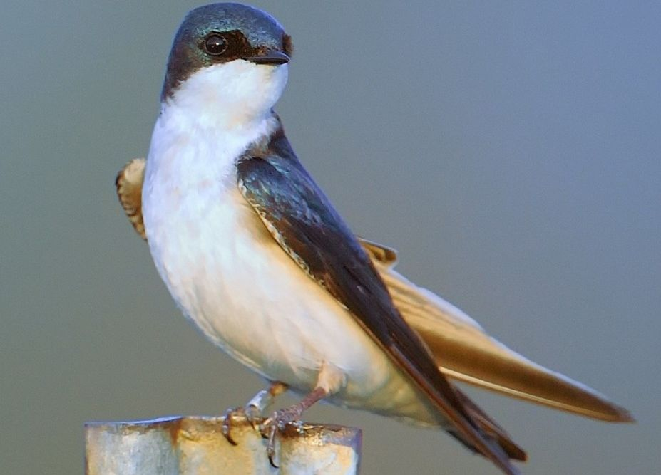 A tree swallow finds a perch at Cornell Experimental Ponds. Credit: David Winkler, Cornell University