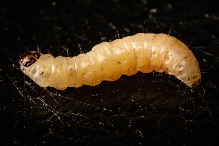 The navel orangeworm caterpillar works with a fungus to overcome plant chemical defenses, a new study finds. Photo by L. Brian Stauffer